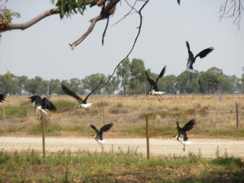 Flying Ibis
